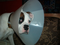 Cone-head_Reni_-_dog_in_Elizabethan_collar